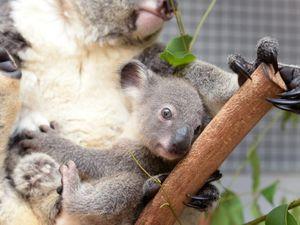 Cooberrie Park's newest koala.