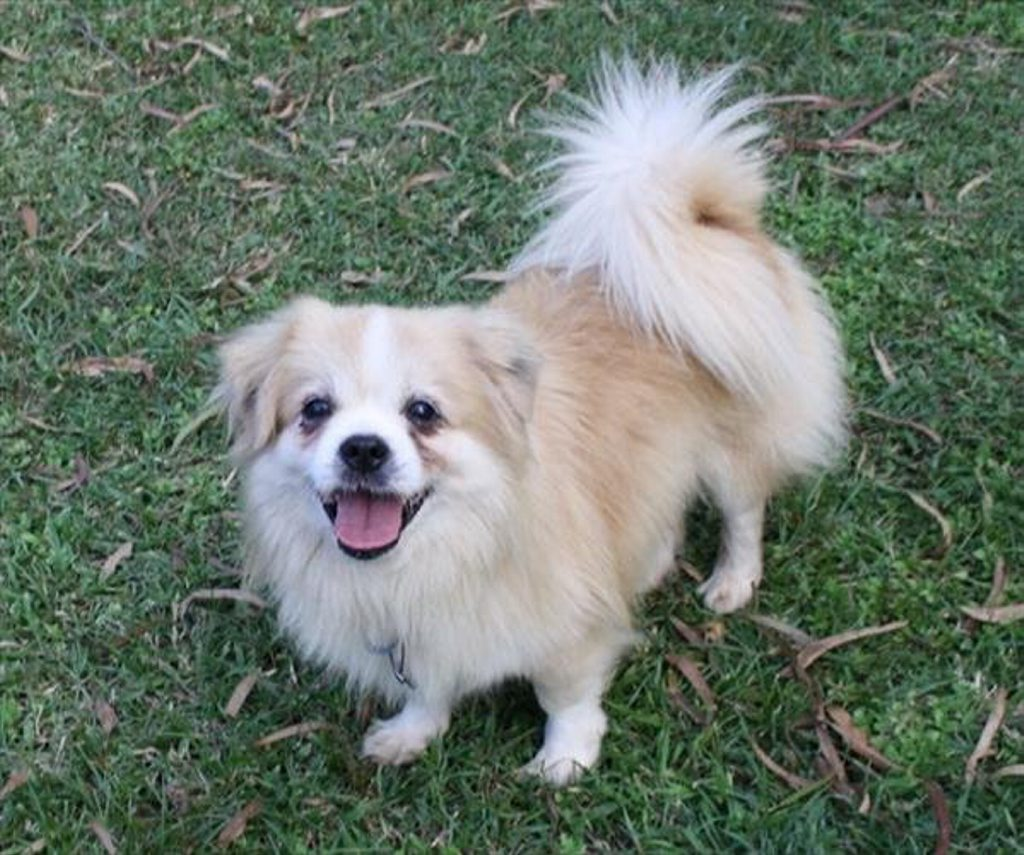 Billie is an eight-year-old Tibetan Spaniel. Photo Contributed