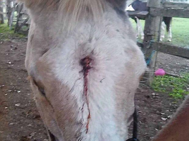 CRUEL ACT: Pumpkin the pony was shot between the eyes with a pellet gun.