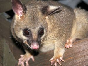 Hello Possums! Are they cute creatures or just noisy pests?
