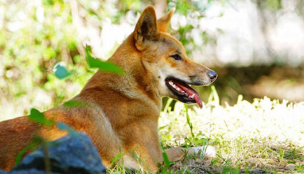 MINE RELOCATION: Ernie the dingo settles into life at Rockhampton Zoo.