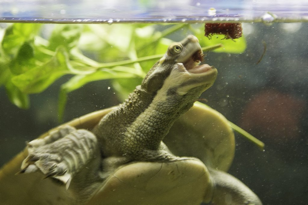 Speedy the turtle has eyes for his food.