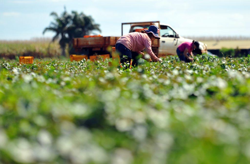 Ayaka Miura cutting vines in the sweet potato fields on Grange Road. Photo: Mike Knott wet3108b