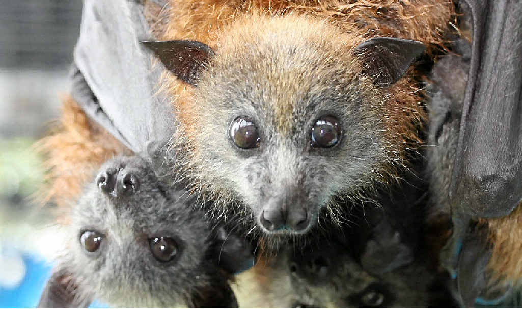 VULNERABLE: Grey-headed flying fox pups.