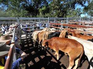 Miriam Vale cattle sale