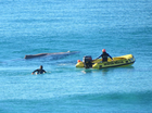 VIDEO: Sick whale watch continues at Mooloolaba beach