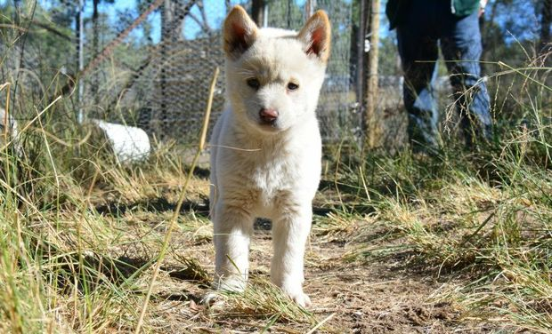 RARE PUPPY: Durong Dingo Sanctuary operator Simon Stretton handed over white dingo pups to Fraser Coast Wild Life Sanctuary's Ray Revill and two to Victoria Halls Gap Zoo's Greg Culell.