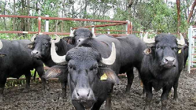 HORNY ISSUE: Buffalo is a problem in the NT. Spy is warning truckies to take care driving in remote parts of the territory.