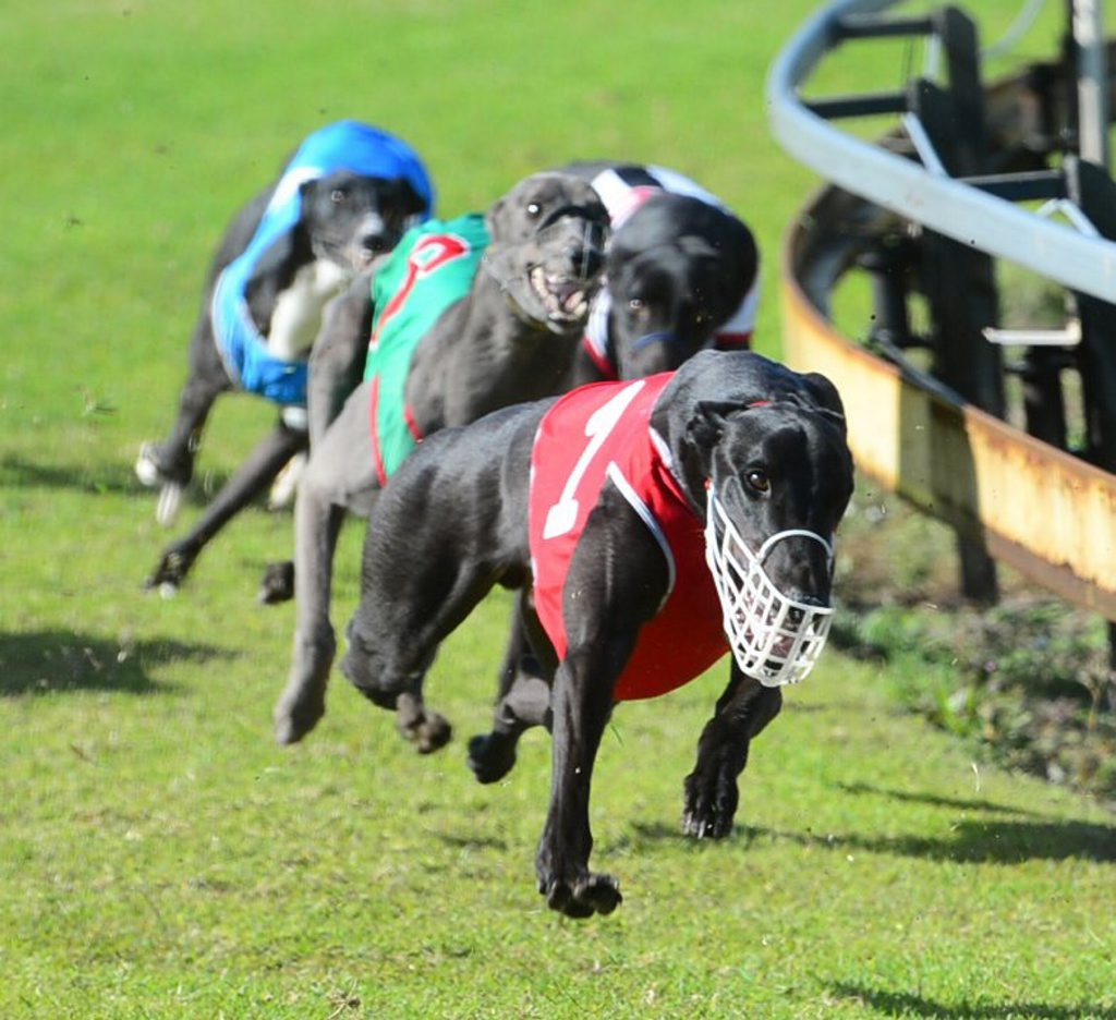 GREYHOUNDS: Greyounds racing in the Des Allen Funerals maiden over 460m at Thabeban Park on Saturday, 5 July, 2014. Photo: Max Fleet / NewsMail