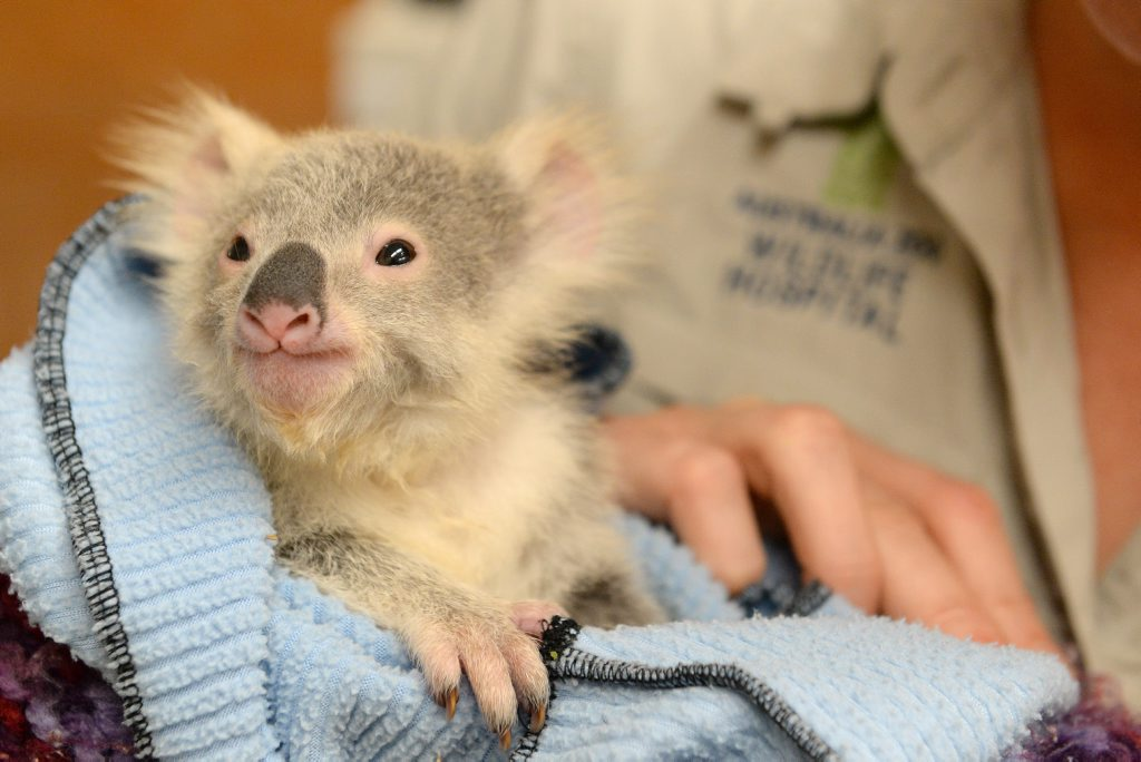 Georgie, the orphaned baby koala, who was driven more than 10 hours to Australia Zoo Wildlife Hospital by a Mackay family.