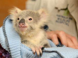 Family drives over 10 hours to rescue orphaned koala