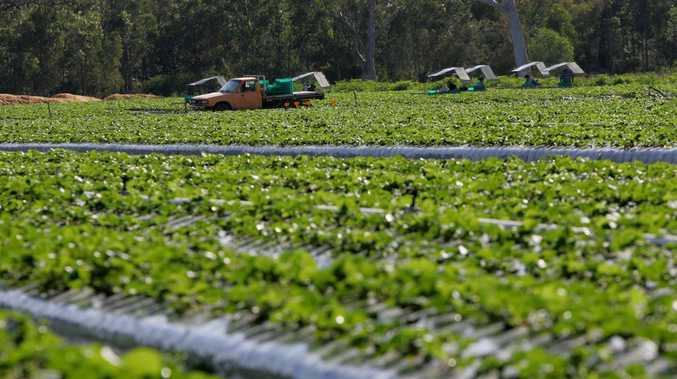The search for a solution to excess strawberries could lead to the development of new products.