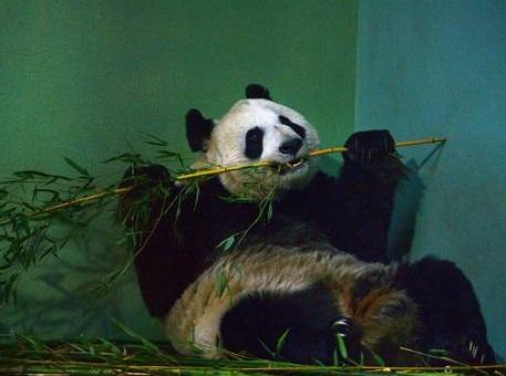 Tian Tian the female panda at Edinburgh zoo sits inside her enclosure