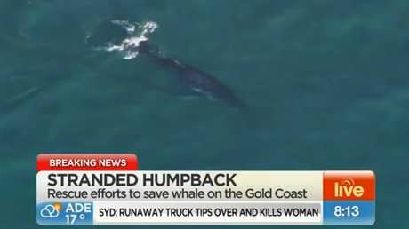 A whale beached on Gold Coast's Palm Beach for about 36 hours has been successfully returned to the ocean