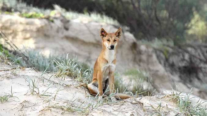 A dingo keeps a lookout on Fraser Island.