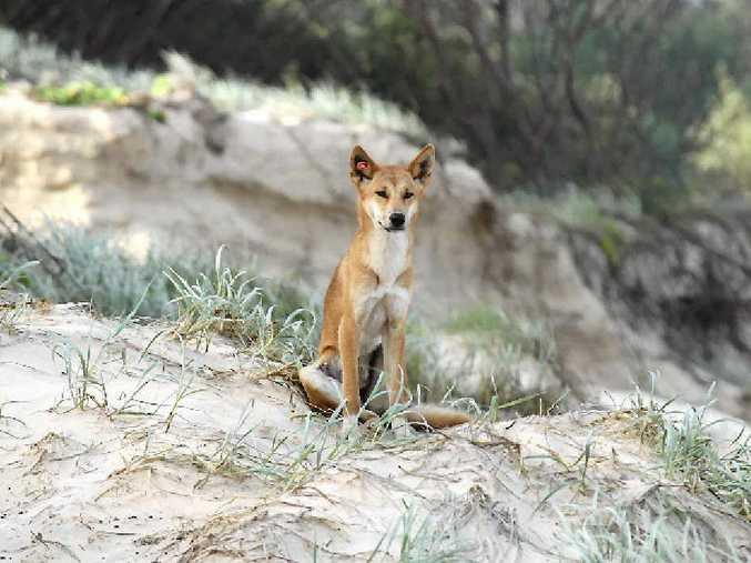 A dingo keeps a lookout on Fraser Island.