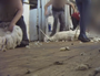 Hidden camera captures mistreatment of sheep