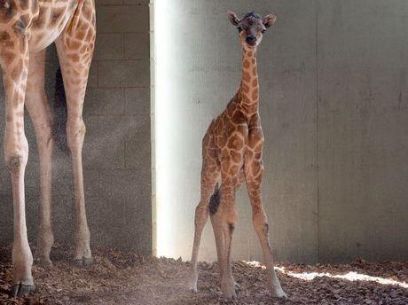 Australia Zoo celebrates second giraffe calf at its Sunshine Coast facility