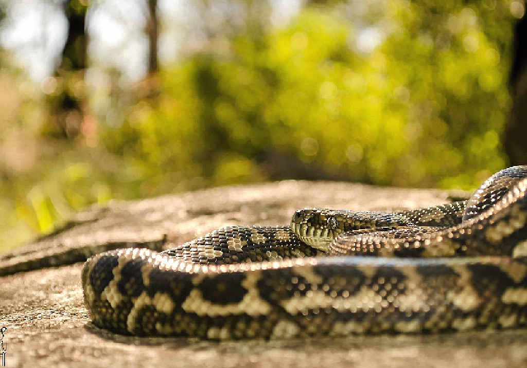 NOT SO CHARMING: Two men were convicted of owning snakes without a permit to do so this week, including a Tin Can Bay man who was found with two carpet snakes and a spotted python.