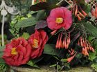 Camellia hat parade a hit