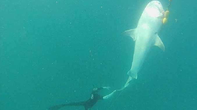 PAINFUL DEATH: Bronte Wootton, of Noosa Junction, took this photo on his Go Pro of a shark hooked on the drum line off Castaways Beach.
