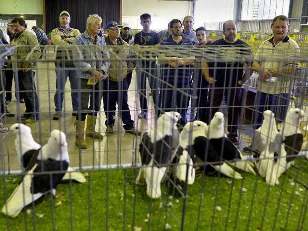 HOW MUCH SIR?: The bird auction at the national Pigeon Show at Ipswich Showgrounds.