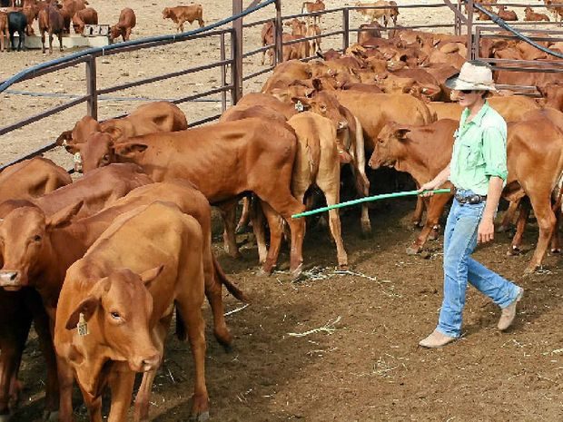 ON THE JOB: Lindsay Brown, 21, loads cattle on a property at Hughenden to be trucked to a New South Wales feedlot. Like many kids from the bush, Lindsay helped out at home between terms away at boarding school.