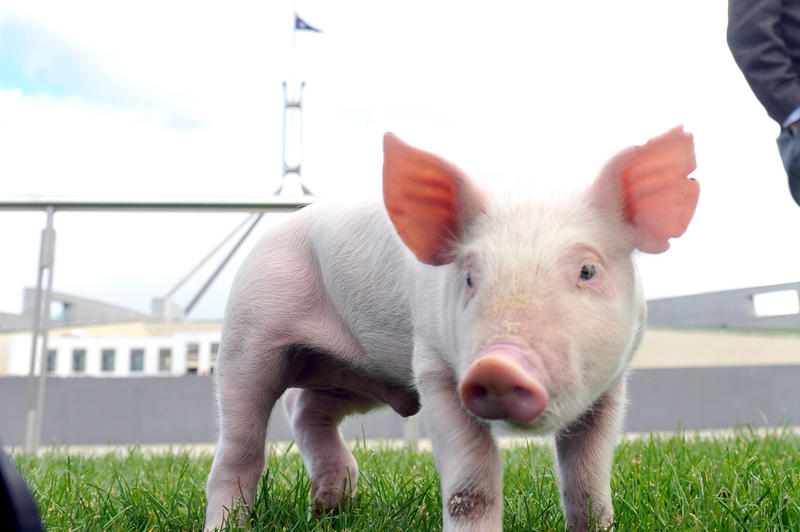A pig forages at Parliament House Canberra, Tuesday, May 24, 2011. Senators have called for an urgent review of Australia's quarantine laws to ensure Australia's pork industry is kept free of the devastating Porcine Reproductive and Respiratory Syndrome.