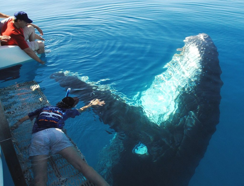 A swimmer reaches out to a humpback whale in Hervey Bay waters ahead of the launch of immersive whale tours this season.