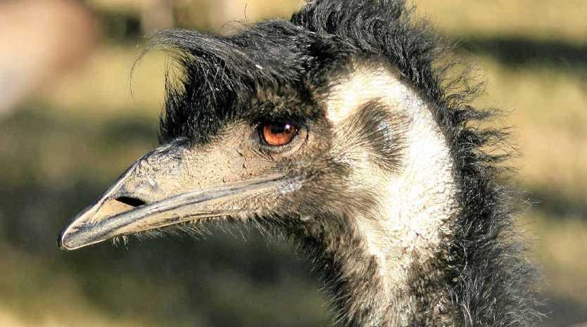 Coastal emus in danger.