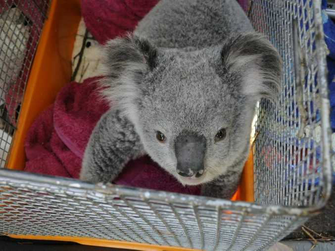 This koala was found on a busy road near a new housing development where trees are currenly being cleared.