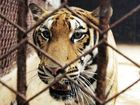 Big tigers kept in cages in China for wine, entertainment
