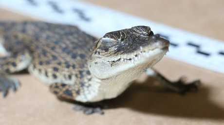The baby crocodile found in a truck just west of Toowoomba.