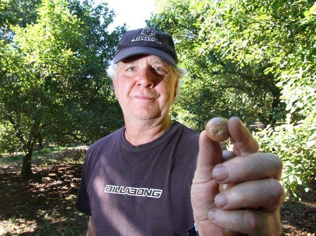 Macadamia nut farmer Errol Vass in a grove of Macadamia nut trees. Photo: Chris Ison / The Morning Bulletin