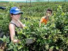 Sale of blueberry farm to Chinese interests denied