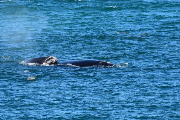 A humpback whale at Ballina's North Wall.