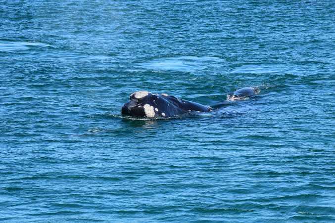 A humpback whale at Ballina's North Wall.