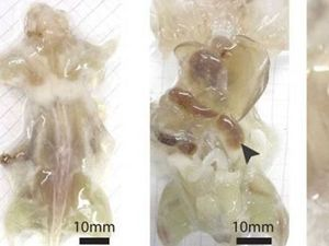 Scientists create transparent mouse with see-through organs