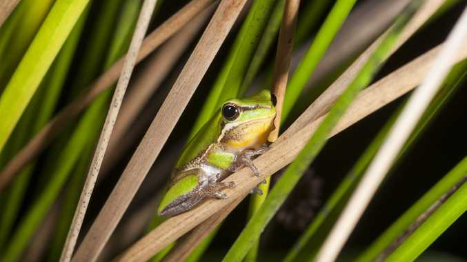 One of Queensland's endangered species, Eastern Sedgefrog, set to benefit from additional funding. Picture: Supplied