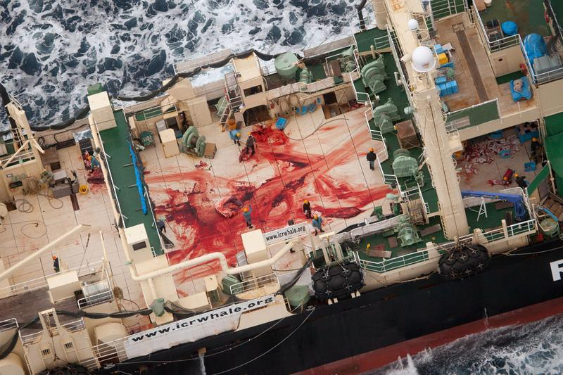 The United Nations' Hague-based International Court of Justice on March 31, 2014 ruled that Japan's whaling programme was a commercial activity disguised as science and said it must revoke existing whaling licences.