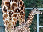 VIDEO: Hey baby! Australia Zoo welcomes giraffe calf