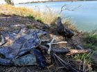 ANIMAL DEATHS: Turtle remains have been found near the Burnett River.