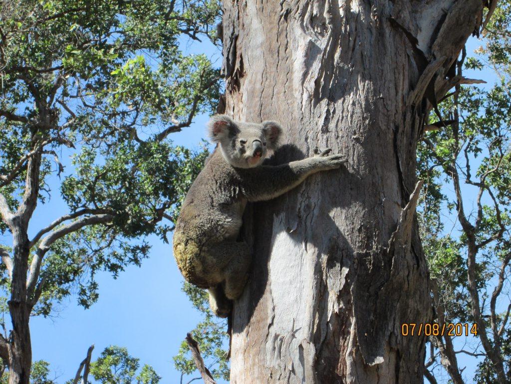 The koala that was nicknamed