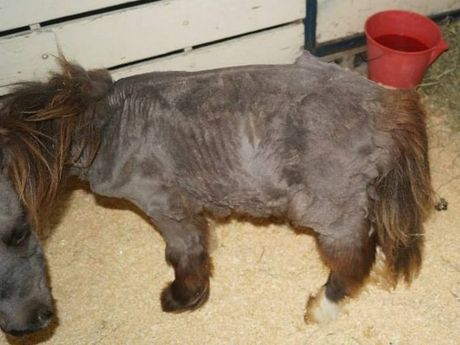 The starving miniature pony after it was saved.