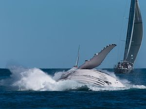 Whale breaches during Audi Race Week
