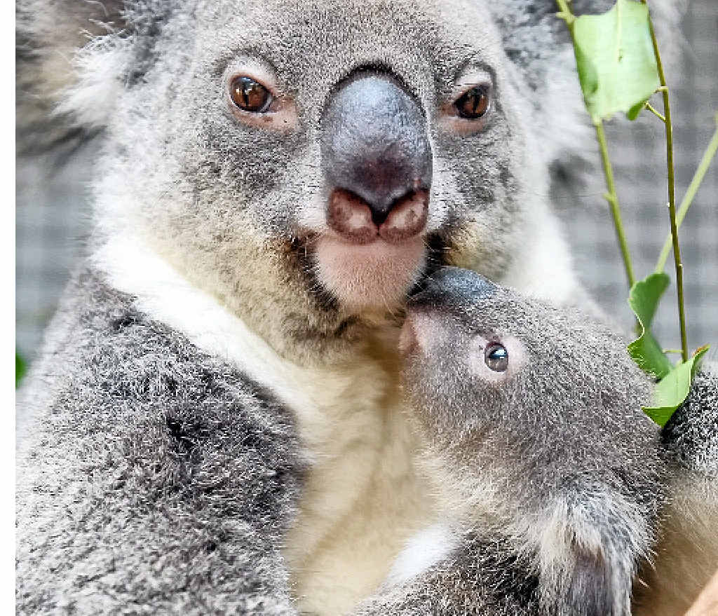 THREAT: The future is looking bleak for the koala population.