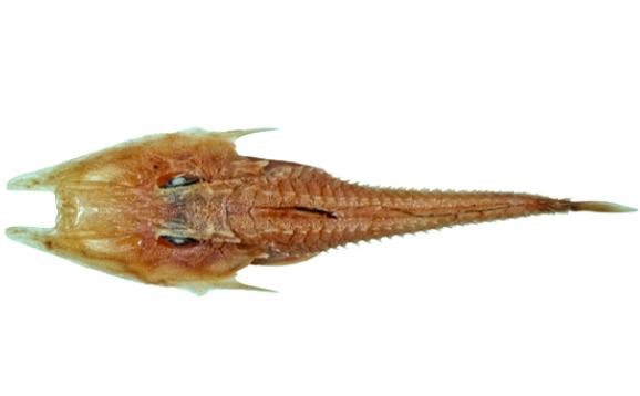 Ling's Armour Gurnard, Satyrichthys lingi. SOUCE: Fishes of Australia