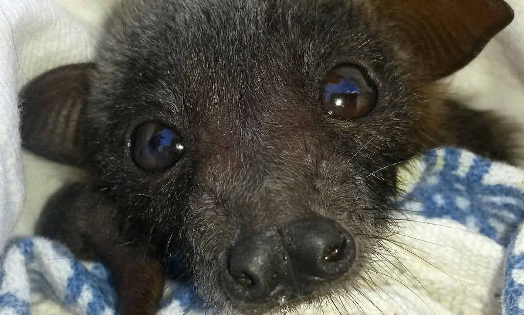 MESMERISING THE WORLD: Rescued baby bat Coco has reached more than 164,000 people since being posted on Facebook, turning the eyes of the world on the Capricorn Coast and Central Queensland.