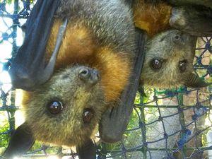 Capricorn Coast bats earn affection around the world
