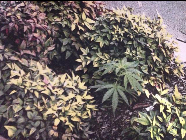 A marijuana plant growing in a garden bed on Ruthven St in the Toowoomba CBD.